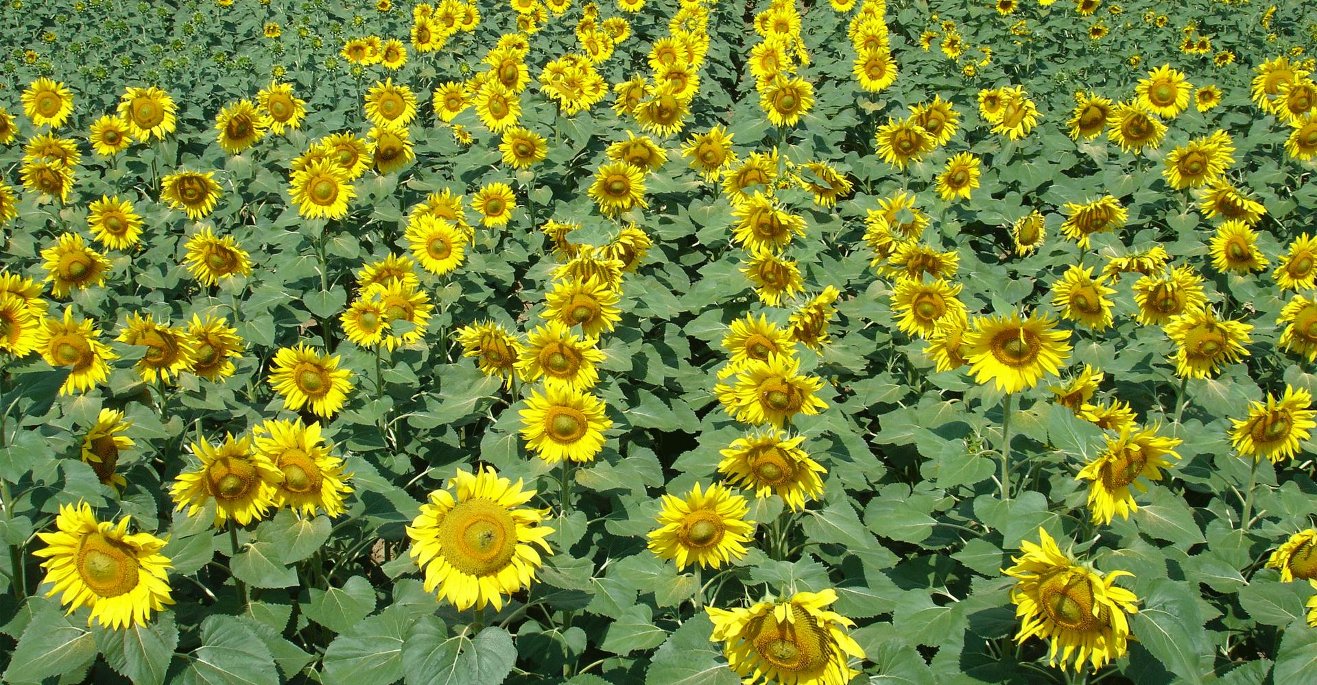 KWS SAAT SE page image of sunflower field
