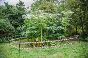 Image showing a giant hogweed plant on a field, conveying the impression of being a triffid.