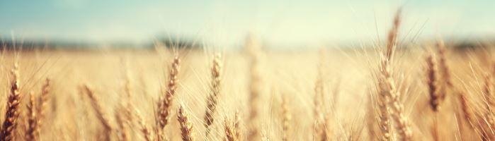 Wheat in Field Farmbot Image