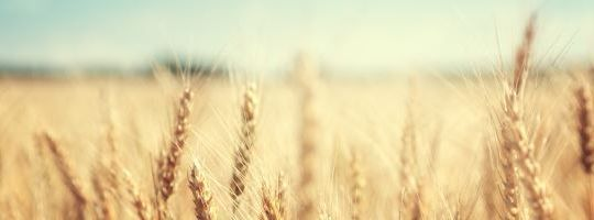 Image of wheat in field