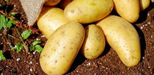 agri-food potato chain